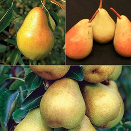 Everyone's Favorite Pear Tree Collection