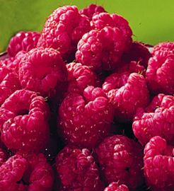 Lauren Red Raspberry