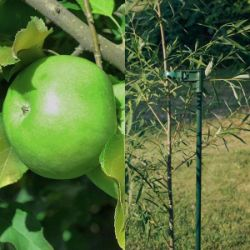 Dwarf Apple Tree & Stake Set