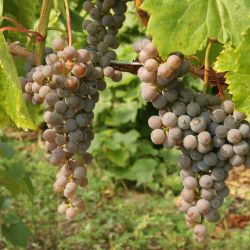 Photo of Frontenac Gris Grape