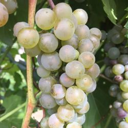 Photo of Itasca Grape