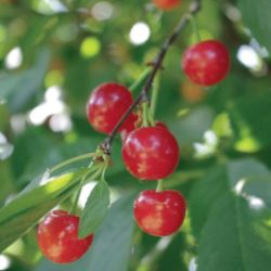 Photo of Stark® Montmorency Pie Cherry