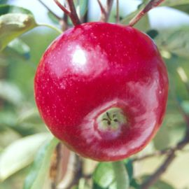 Dandee Red® Apple