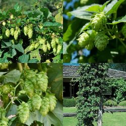 Craft Brewer's Premium Hops Collection