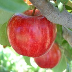 Photo of Starkrimson® Gala Apple