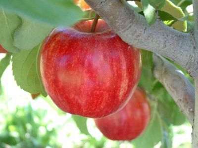 Starkrimson® Gala Apple