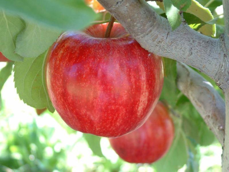 Starkrimson Gala Apple Apple Trees Stark Bro S Watermelon Wallpaper Rainbow Find Free HD for Desktop [freshlhys.tk]
