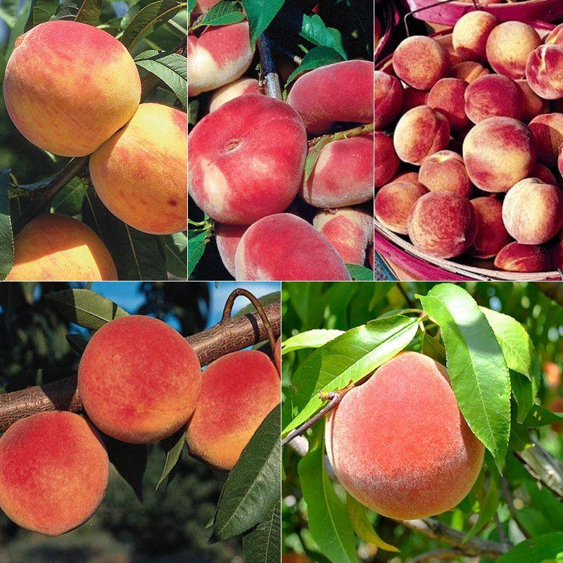 Peach-A-Palooza Orchard-In-A-Box®