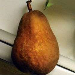 Photo of Russetted Bartlett Pear