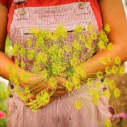 Bouquet Dill Seed