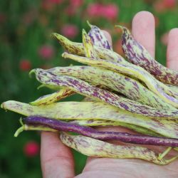 Dragon Tongue Bush Bean Seed