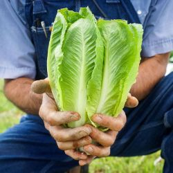 Parris Island Cos Lettuce Seed