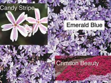 Creeping Phlox Assortment