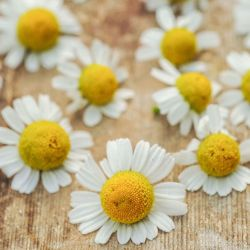 Zloty Lan Camomile Seed