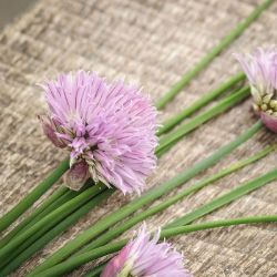 Common Chive Seed