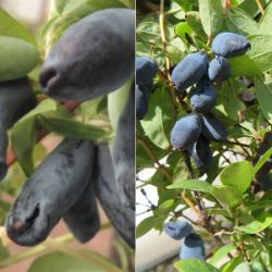 Northern Lights Honeyberry Plant Collection
