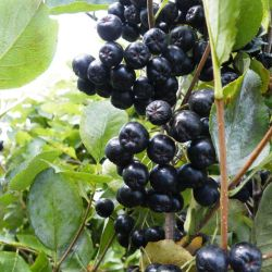 Viking Aronia Berry