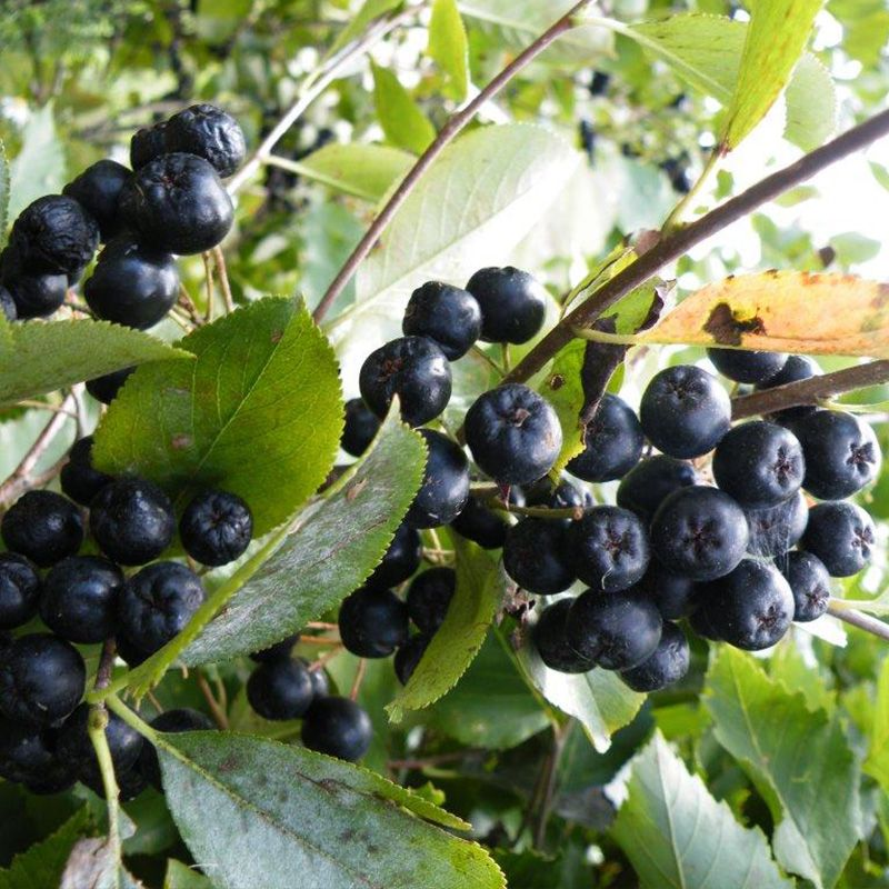 Viking Aronia Berry Aronia Berry Plants Stark Bro S