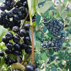 Aronia Berry Plant Collection