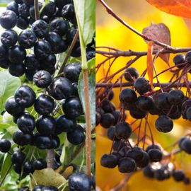 Photo of Aronia Berry Plant Collection