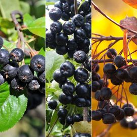 Four Seasons Aronia Berry Plant Collection