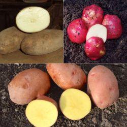 All-Season Seed Potato Collection