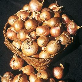 Dutch Yellow Shallot