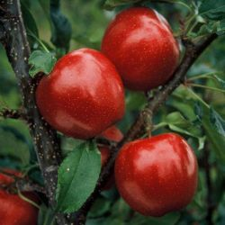 Buckeye Gala® Apple