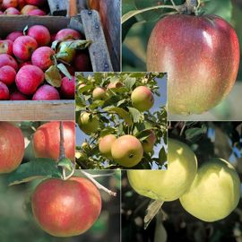 Antique Cider Apple Collection