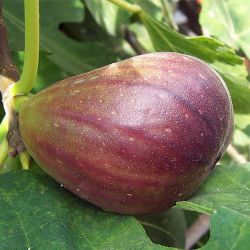Photo of Texas Everbearing Fig