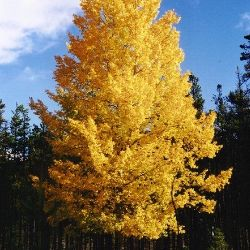 Photo of Quaking Aspen