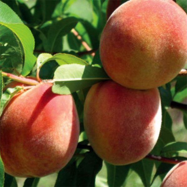 Flamin' Fury® (PF 9A-007) Peach
