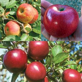 Organic Warm-Weather Apple Tree Collection