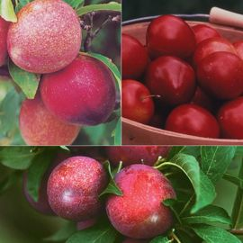 Photo of Plum Dandy Tree Collection