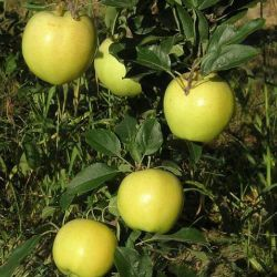 Photo of Blondee® Apple