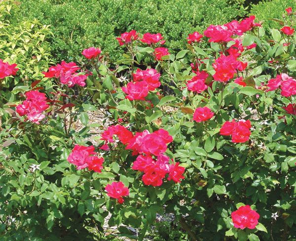 Knock Out 174 Rose Roses Stark Bro S