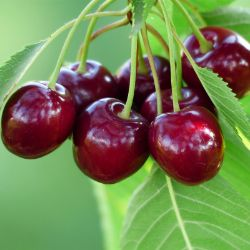 Bing Sweet Cherry