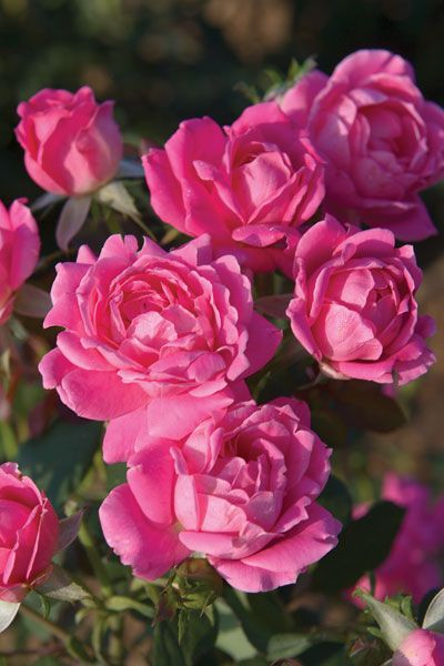 Pink Double Knock Out 174 Rose Roses Stark Bro S