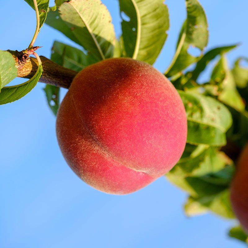 Flamin' Fury® (PF 15A) Peach