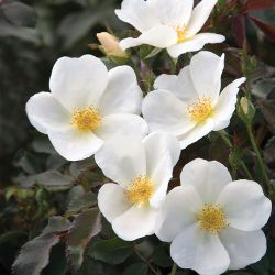 Photo of White Knock Out® Rose