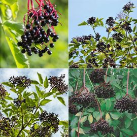 Deluxe Elderberry Collection