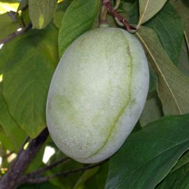 Photo of Shenandoah™ Pawpaw