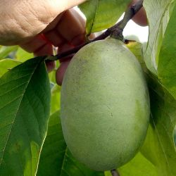 Photo of Susquehanna® Pawpaw
