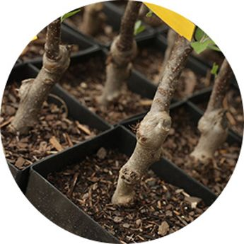EZ Start® Potted Trees