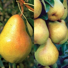 Stark® Custom Graft® 2-N-1 Pear