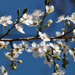 Autumn Brilliance® Serviceberry