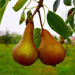 Photo of Golden Russet Bosc Pear