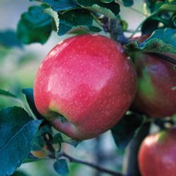 Photo of Pink Lady® Apple