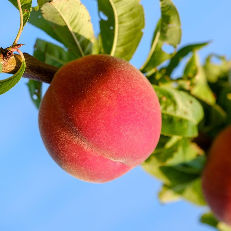 When Do Peach Trees Bear Fruit? - Gardening Dream