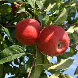 Photo of Buckeye Gala® Apple